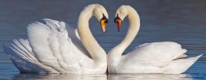 Swans making a heart